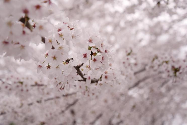 桜×大正時代の駅舎
